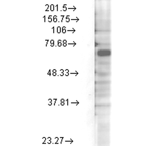 <p>Western Blot analysis of Rat brain membrane lysate showing detection of Kv3.4 Potassium Channel protein using Mouse Anti-Kv3.4 Potassium Channel Monoclonal Antibody, Clone S72-16 (SMC-335). Load: 15 µg protein. Block: 1.5% BSA for 30 minutes at RT. Primary Antibody: Mouse Anti-Kv3.4 Potassium Channel Monoclonal Antibody (SMC-335) at 1:1000 for 2 hours at RT. Secondary Antibody: Sheep Anti-Mouse IgG: HRP for 1 hour at RT.</p>