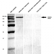 Mouse Anti-GluN2B/NR2B Antibody [S59-36] used in Western Blot (WB) on Human HEK-T lysates (SMC-337)