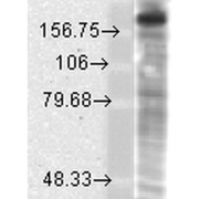 Mouse Anti-GluN2B/NR2B Antibody [S59-36] used in Western Blot (WB) on Rat brain membrane lysate (SMC-337)