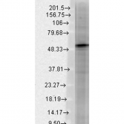 Mouse Anti-GABA A Receptor Antibody [S87-25] used in Western Blot (WB) on Rat brain membrane lysate (SMC-339)