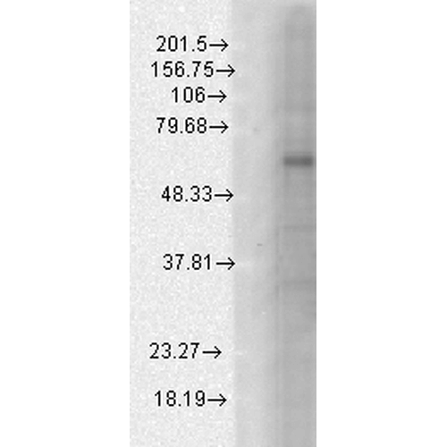 <p>Western Blot analysis of Human Cell line lysates showing detection of GABA A Receptor protein using Mouse Anti-GABA A Receptor Monoclonal Antibody, Clone S96-55 (SMC-340). Load: 15 µg protein. Block: 1.5% BSA for 30 minutes at RT. Primary Antibody: Mouse Anti-GABA A Receptor Monoclonal Antibody (SMC-340) at 1:1000 for 2 hours at RT. Secondary Antibody: Sheep Anti-Mouse IgG: HRP for 1 hour at RT.</p>