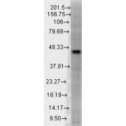 Mouse Anti-Dnmt3L Antibody [S117-9] used in Western Blot (WB) on Human tissue lysate (SMC-341)