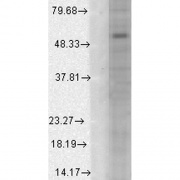 Mouse Anti-GABA A Receptor Antibody [S95-35] used in Western Blot (WB) on Human Cell line lysates (SMC-346)