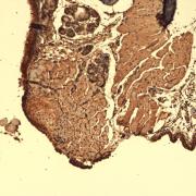 Mouse Anti-Sodium Iodide Symporter Antibody [14F] used in Immunohistochemistry (IHC) on Mouse Thyroid  (SMC-390)
