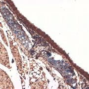 Mouse Anti-Sodium Iodide Symporter Antibody [14F] used in Immunohistochemistry (IHC) on Mouse Trachea (SMC-390)
