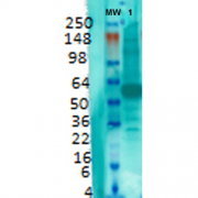 Mouse Anti-VGLUT1 Antibody [S28-9] used in Western Blot (WB) on Rat brain membrane lysate (SMC-394)
