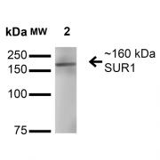 Mouse Anti-SUR1 Antibody [S289-16] used in Western Blot (WB) on Rat Brain Membrane (SMC-409)