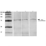 Mouse Anti-ADAM22 Antibody [S57-2] used in Western Blot (WB) on Rat brain lysates (SMC-412)