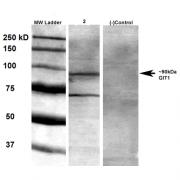 Mouse Anti-GIT1 Antibody [S39B-8] used in Western Blot (WB) on Rat brain membrane lysate (SMC-413)