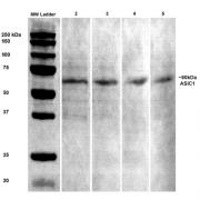 Mouse Anti-ASIC1 Antibody [S271-44] used in Western Blot (WB) on Rat brain lysates (SMC-427)