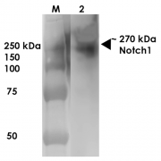 Mouse Anti-Notch1 Antibody [S253-32] used in Western Blot (WB) on Rat Brain Membrane   (SMC-430)
