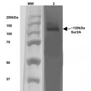 Mouse Anti-SUR2A Antibody [S319A-14] used in Western Blot (WB) on Rat Brain Membrane   (SMC-431)