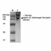 Mouse Anti-Alpha 2C Adrenergic Antibody [S330A-51 ] used in Western Blot (WB) on Rat Brain Membrane   (SMC-433)
