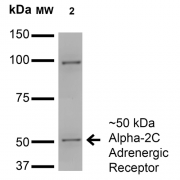 Mouse Anti-Alpha-2C Adrenergic Receptor Antibody [S330A-80] used in Western Blot (WB) on Monkey COS cells transfected with HA-tagged Alpha-2C (SMC-435)