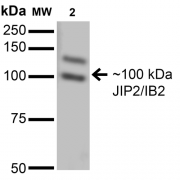 Mouse Anti-JIP2/IB2 Antibody [S135-37] used in Western Blot (WB) on Monkey COS cells transiently transfected with Flagtagged JIP-1 (SMC-465)