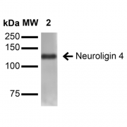 Mouse Anti-Neuroligin 4 Antibody [S98-7] used in Western Blot (WB) on Rat Brain Membrane (SMC-469)
