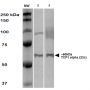 Rat Anti-TCP1 alpha Antibody [23c] used in Western Blot (WB) on Human A431 and HEK293 cell lysates (SMC-478)