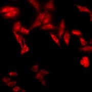 Rat Anti-TCP1-alpha Antibody [91a] used in Immunocytochemistry/Immunofluorescence (ICC/IF) on Human Heat Shocked HeLa Cells (SMC-479)