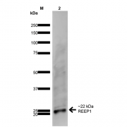 Mouse Anti-REEP1 Antibody [S345-51] used in Western Blot (WB) on Rat Brain (SMC-480)