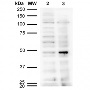 Mouse Anti-Acrolein Antibody [10A10] used in Western Blot (WB) on  Cervical Cancer cell line (HeLa) (SMC-505)