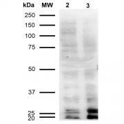 Mouse Anti-Malondialdehyde Antibody [11E3] used in Western Blot (WB) on  Cervical Cancer cell line (HeLa) (SMC-515)