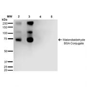 Mouse Anti-Malondialdehyde Antibody [11E3] used in Western Blot (WB) on Malondialdehyde-BSA Conjugate (SMC-515)