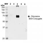 SMC-520_Dityrosine_Antibody_7D4_WB_Dityrosine-BSA-Conjugate_1.png