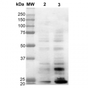 Mouse Anti-Dityrosine Antibody [10A6] used in Western Blot (WB) on  Cervical Cancer cell line (HeLa) (SMC-521)