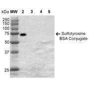 Mouse Anti-Sulfotyrosine Antibody [7C5] used in Western Blot (WB) on Sulfotyrosine-BSA Conjugate (SMC-522)
