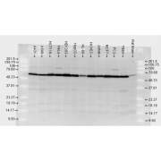 Rabbit Anti-HSP70 Antibody used in Western blot (WB) on Human, Rat brain cell lysates (SPC-103)