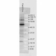 Rabbit Anti-HSP70 Antibody used in Western blot (WB) on Mouse Pam212 cells (SPC-103)