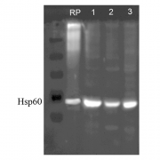 Rabbit Anti-HSP60 Antibody used in Western blot (WB) on Human, Dog, Mouse SKBR3, MDCK, and MEF cell line lysates (SPC-105)
