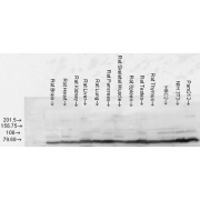 Rabbit Anti-GRP78 Antibody used in Western blot (WB) on Rat Tissue lysates (SPC-107)