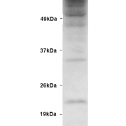 Rabbit Anti-Ubiquitin Antibody used in Western blot (WB) on Human HEK93 lysates (SPC-119)