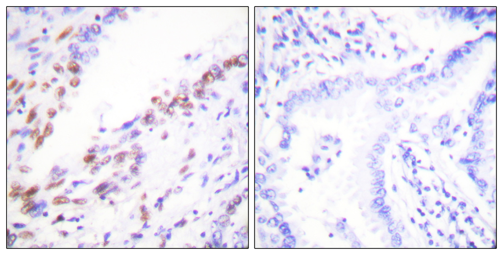Ki67 Antibody: ATTO 680