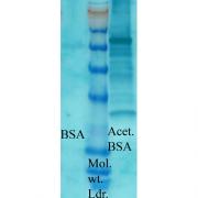 Rabbit Anti-Acetylated Lysine Antibody used in Western blot (WB) on Bovine serum albumin (SPC-155)