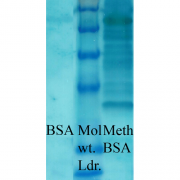 Rabbit Anti-Methylated Lysine Antibody used in Western blot (WB) on Bovine serum albumin (SPC-158)