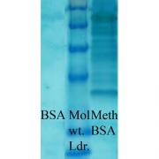 Rabbit Anti-Methylated Lysine Antibody used in Western blot (WB) on Bovine serum albumin (SPC-158)