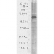 Chicken Anti-HSP70 Antibody used in Western blot (WB) on Human HeLa cell lysates (SPC-178)
