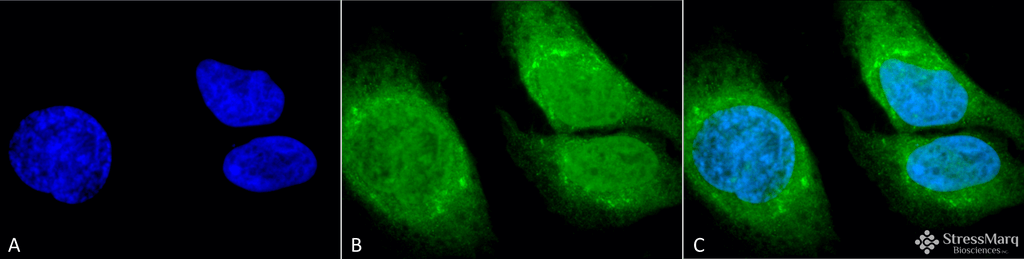 <p>Immunocytochemistry/Immunofluorescence analysis using Rabbit Anti-GRP78 (Bip) Polyclonal Antibody (SPC-180). Tissue: Heat Shocked HeLa Cells. Species: Human. Fixation: 2% Formaldehyde for 20 min at RT. Primary Antibody: Rabbit Anti-GRP78 (Bip) Polyclonal Antibody (SPC-180) at 1:100 for 12 hours at 4°C. Secondary Antibody: FITC Goat Anti-Rabbit (green) at 1:200 for 2 hours at RT. Counterstain: DAPI (blue) nuclear stain at 1:40000 for 2 hours at RT. Localization: Endoplasmic reticulum lumen. Melanosome. Cytoplasm. Nucleus. Magnification: 100x. (A) DAPI (blue) nuclear stain. (B) Anti-GRP78 (Bip) Antibody. (C) Composite. Heat Shocked at 42°C for 1h.</p>