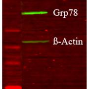 Rabbit Anti-GRP78 Antibody used in Western blot (WB) on Human Glucose deprived glia cell lysates (SPC-180)