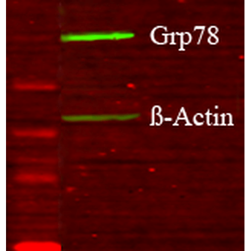 <p>Western blot analysis of Human Glucose deprived glia cell lysates showing detection of GRP78 protein using Rabbit Anti-GRP78 Polyclonal Antibody (SPC-180). Primary Antibody: Rabbit Anti-GRP78 Polyclonal Antibody (SPC-180) at 1:1000.</p>