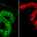 SPC-197_Piccolo_Antibody_IHC_Mouse_muscle_1.png