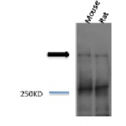 Rabbit Anti-Piccolo Antibody used in Western blot (WB) on Mouse, Rat brain cell lysates (SPC-197)