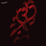 SPC-198_Bassoon_Antibody_IHC_Mouse_Muscle_1.png