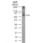 Rabbit Anti-TLR4 Antibody used in Western blot (WB) on Human, Mouse Cell line lysates (SPC-200)