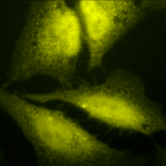 SPC-208_HSF1-Antibody_ICC-IF_Human_Heat-Shocked-HeLa-Cells_100x_Composite.png