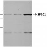 SPC-306_HSP101_Antibody_WB_Maize_Tissue-lysates_1.png