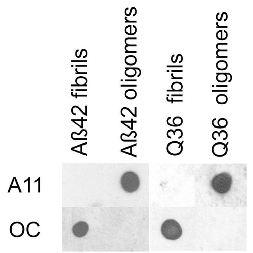 <p>Dot blot analysis using Rabbit Anti-Amyloid Fibrils (OC) Polyclonal Antibody (SPC-507). Tissue: Abeta42 fibrils and prefibrillar oligomers. Species: Human. Primary Antibody: Rabbit Anti-Amyloid Fibrils (OC) Polyclonal Antibody (SPC-507) at 1:1000. Courtesy of: Kayed, R., Head, E., Thompson, J. L., McIntire, T. M., Milton, S. C., Cotman, C. W., et al. (2003). Common structure of soluble amyloid oligomers implies common mechanism of pathogenesis. Science 300, 486–489. doi: 10.1126/science.1079469.</p>