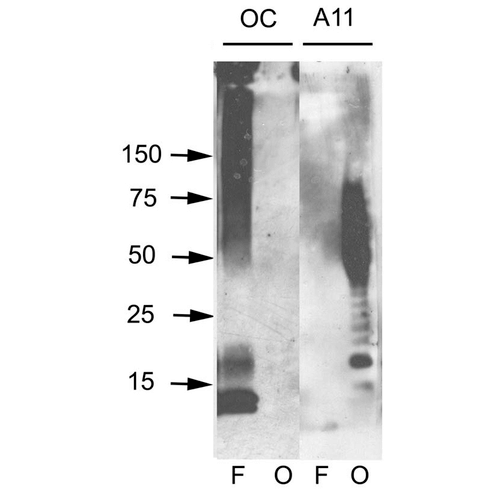 <p>Western blot analysis of Human Abeta42 fibrils and prefibrillar oligomers showing detection of Amyloid Fibrils (OC) protein using Rabbit Anti-Amyloid Fibrils (OC) Polyclonal Antibody (SPC-507). Primary Antibody: Rabbit Anti-Amyloid Fibrils (OC) Polyclonal Antibody (SPC-507) at 1:1000. Courtesy of: Kayed, R., Head, E., Thompson, J. L., McIntire, T. M., Milton, S. C., Cotman, C. W., et al. (2003). Common structure of soluble amyloid oligomers implies common mechanism of pathogenesis. Science 300, 486–489. doi: 10.1126/science.1079469.</p>